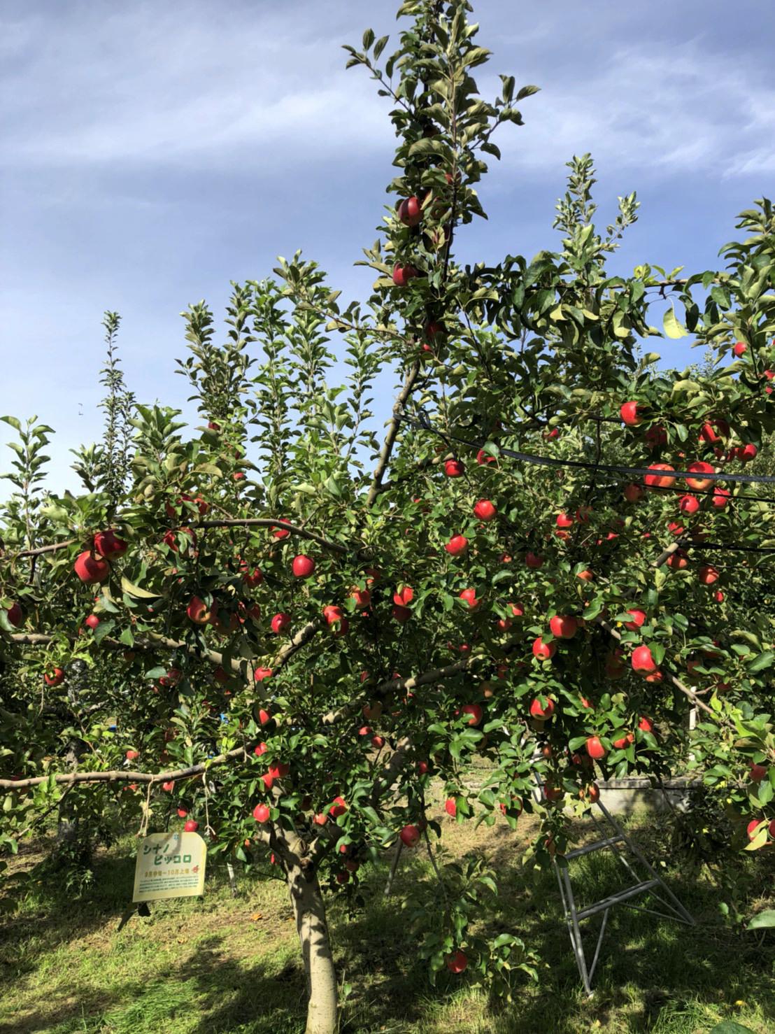 りんご狩りがはじまりました